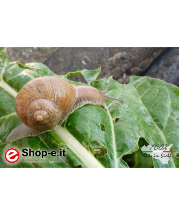 Gastronomische Schnecken Helix Aspersa Aspersa
